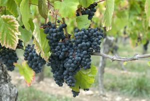 Minőségi szőlő